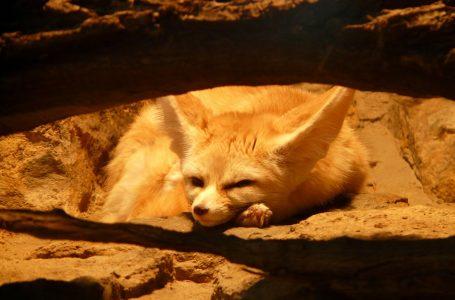 Лисицата Фенек