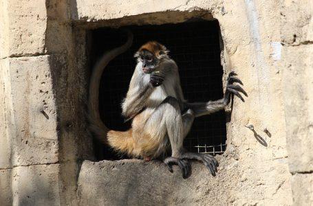 Маймуна паяк