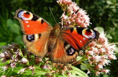 Забележителни факти за пеперудите