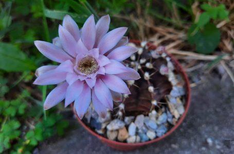 Грижи за кактусите през зимата